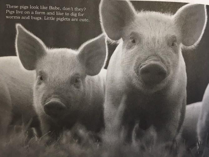imagem de porco e texto grande.